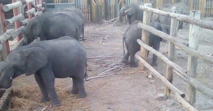 baby-elephants-from-zimbabwe-to-china-zoo