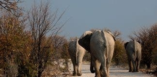 botswana elephant drought