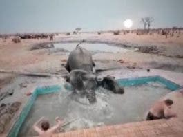 elephant jumps in swimming pool to protect calf