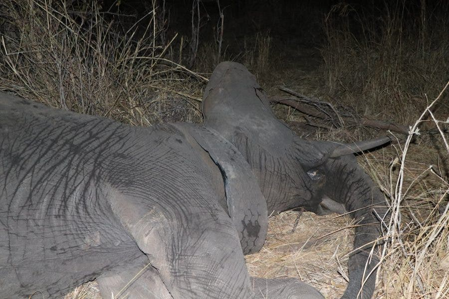 Elephant tyre rescue at Matetsi Private Game Reserve, Victoria Falls
