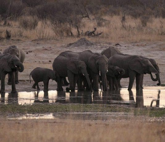 A herd of elephants gather at a water hole in Zimbabwe's Hwange National Park