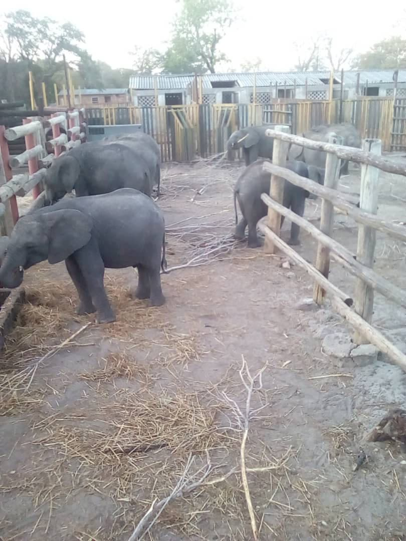 baby-elephants-from-zimbabwe-to-china-zoo