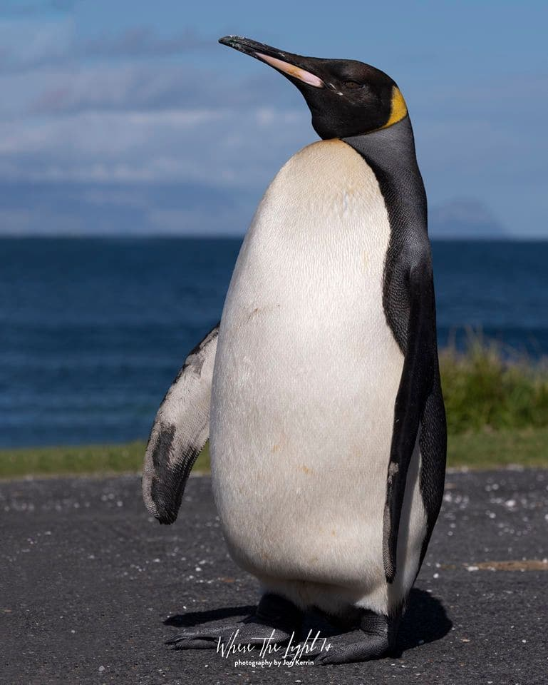king penguin cape point photographer south africa