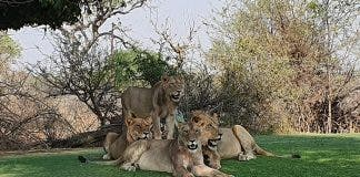 lions-skukuza-golf-course-south-africa