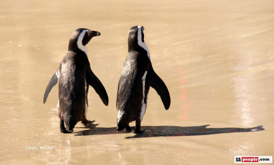 penguins simonstown