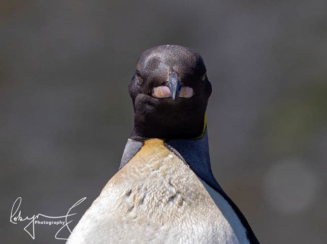 percy king penguin south africa 6