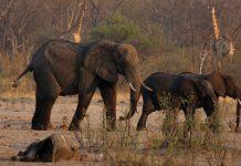 zimbabwe elephant relocation
