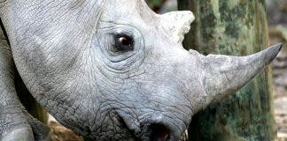 SA rhinos moved to Malawi. A 33 month old black rhino is seen at a game reserve near Cape Town