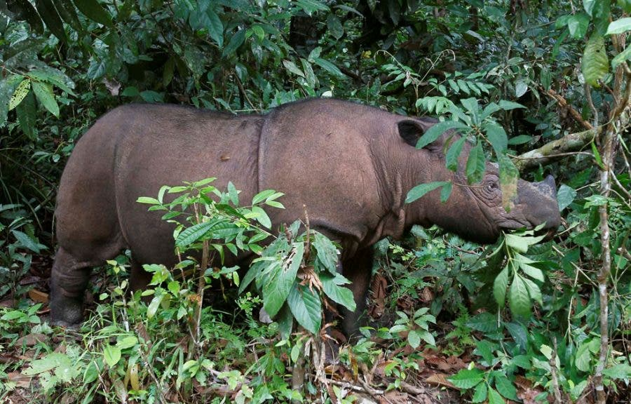 Ratu, a 8 year-old female Sumatran Rhino is seen at the SRS in the Way Kambas National Park