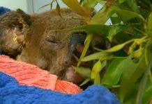 Lewis the koala euthanized after Australian bushfire rescue