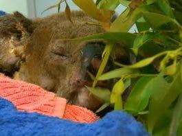 Lewis the koala euthanized after Australian bushfire rescue