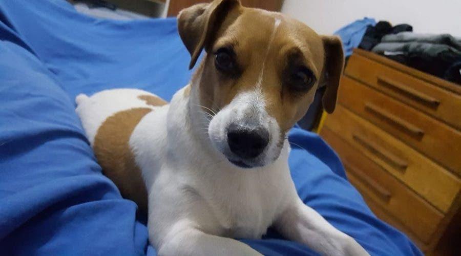 Stolen dog Roodepoort Jack Russell Lara