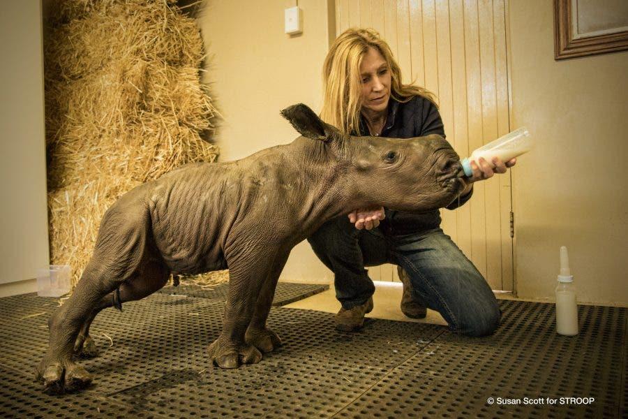 STROOP-Karen_Trendler-feeds-4-day-old-calf-South-Africa © Susan Scott
