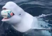beluga-whale-plays-rugby-ball-bok-victory