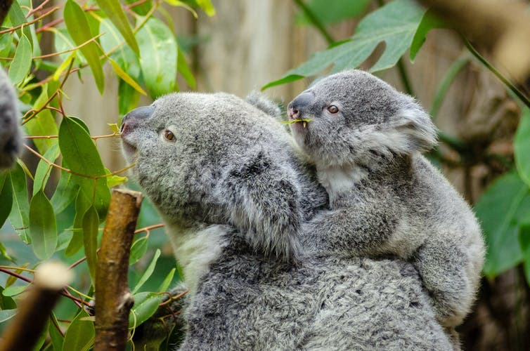 koalas are functionally extinct says report
