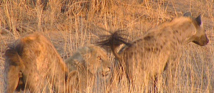 lion drought kalahari south africa