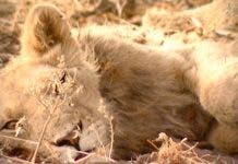 lion drought kalahari south africa