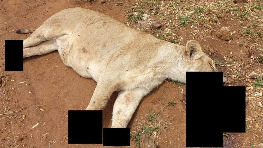A butchered lioness from Sunward Ranch, South Africa, with its paws and jaws hacked off.