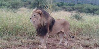 lion-tau-south-africa
