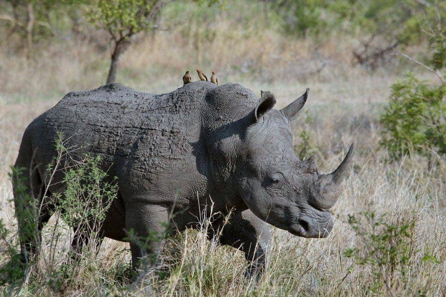 100 rhino horn seized south africa, poachers