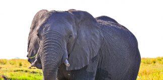 elehant killed botswana
