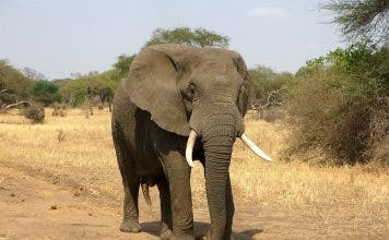 suspects arrested with elephant tusks