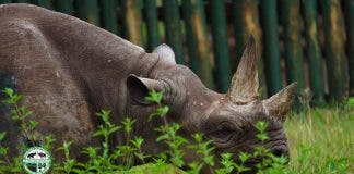 Fausta oldest rhino dies in tanzania