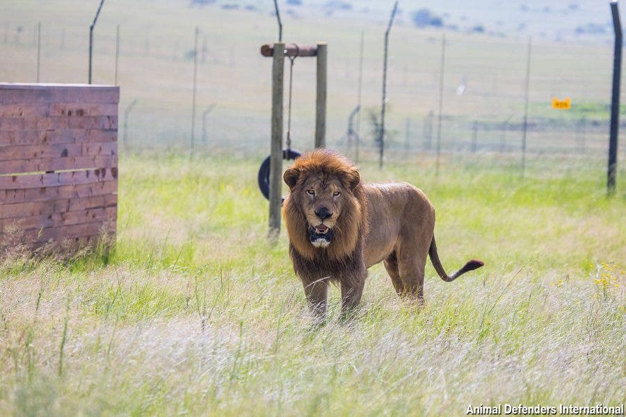 rescued circus cats now in south africa
