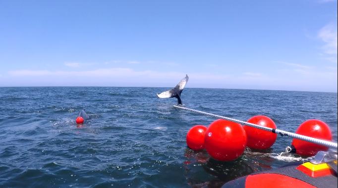 whale rescued near st helena bay