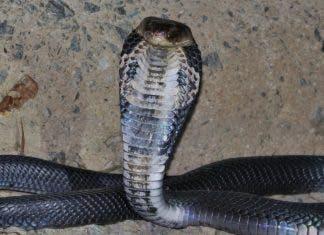 chinese cobra link to coronavirus possibly