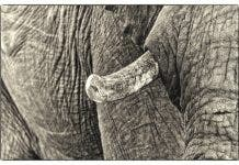 elephant ross harvey no to trophy hunting