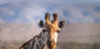 giraffe escaped thailand pix