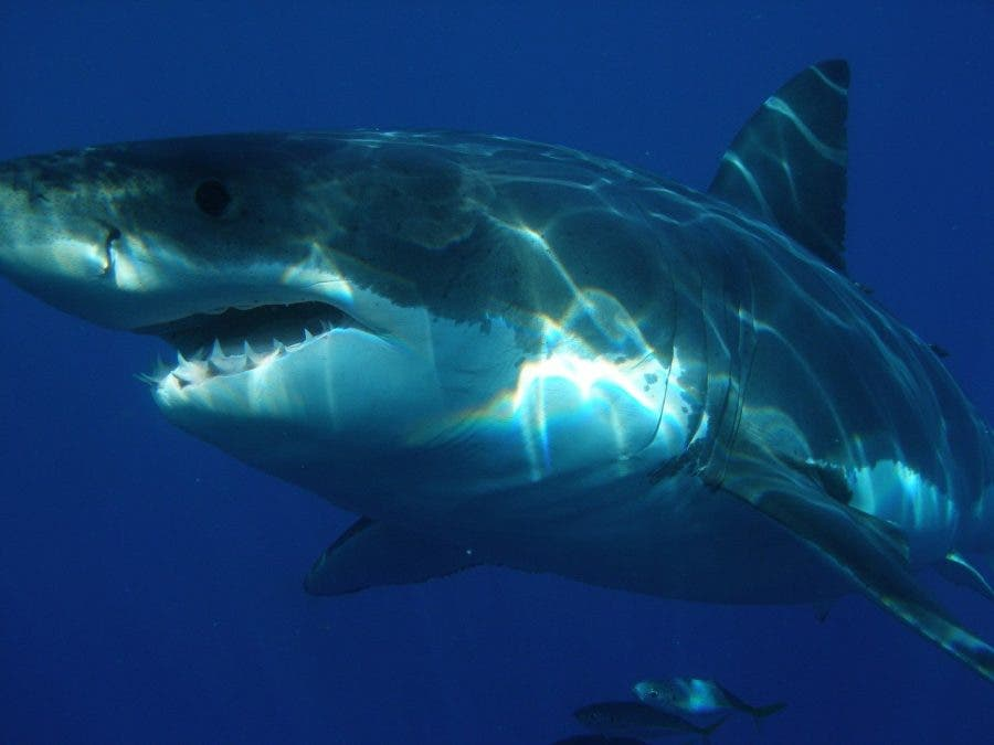 great white shark sighting false bay south africa