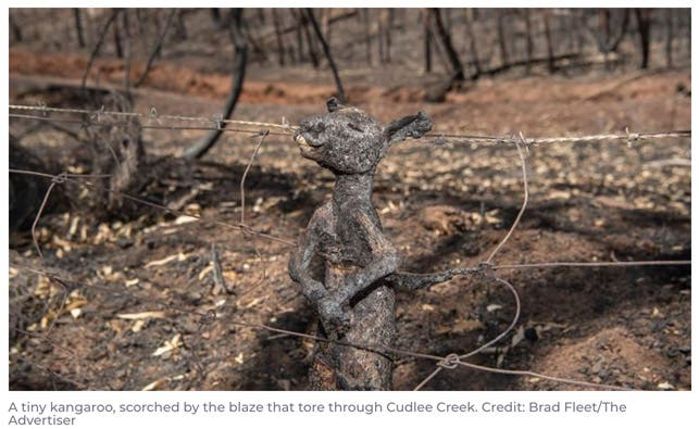 heartbreaking kangaroo photo burnt in fire