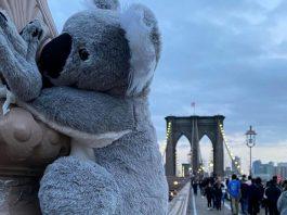 koalas in new york
