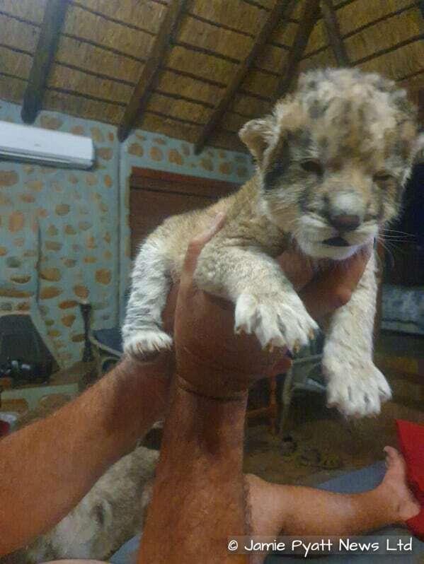 lion cub yoda