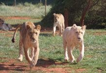 lions lodge south africa