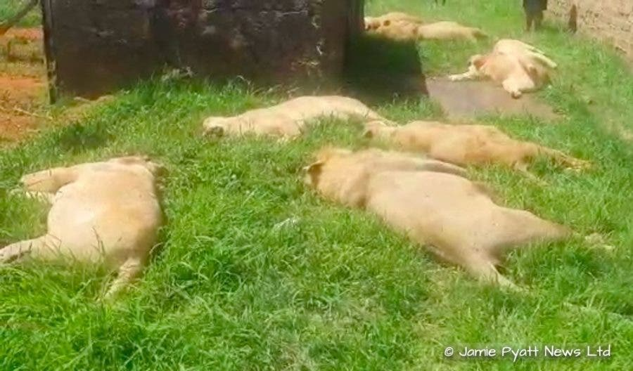 lions killed by poachers in south africa