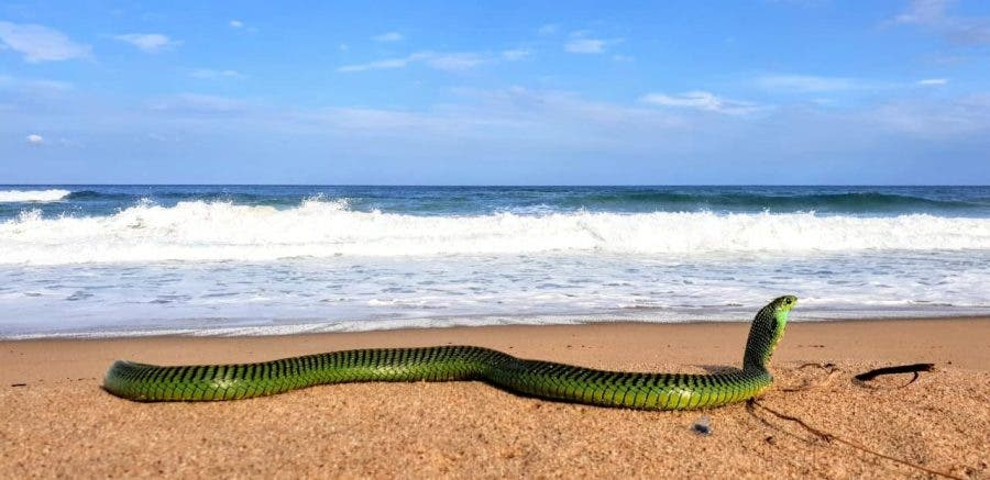 Boomslang beach snake on the beach in south africa