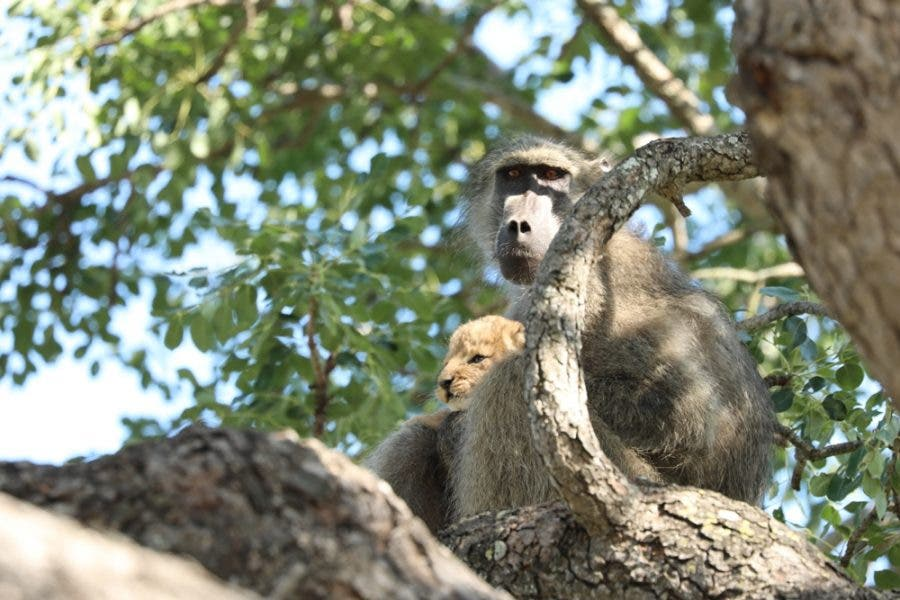 baboon with lion cub