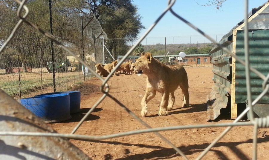 cub-petting-breeding-copyright-drew-abrahamson