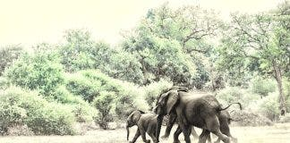 elephants kill man conservationist kzn south africa