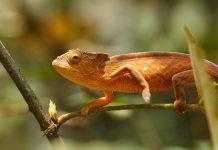 Parsons chameleon, Calumma parsonii, in Andasibe - Analamazaotra National Park, Madagascar.