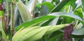 zimbabwe maize scandal