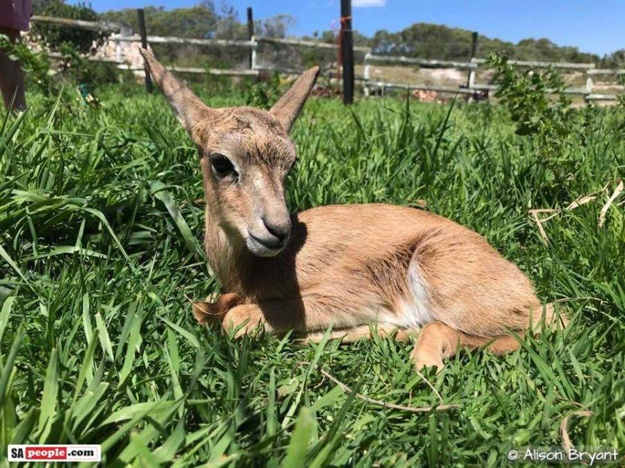 baby springbok missy