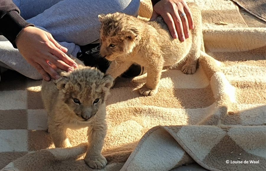lion cub petting south africa