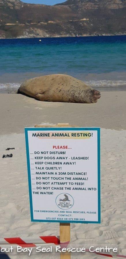 Elephant Seal at Hout Bay beach
