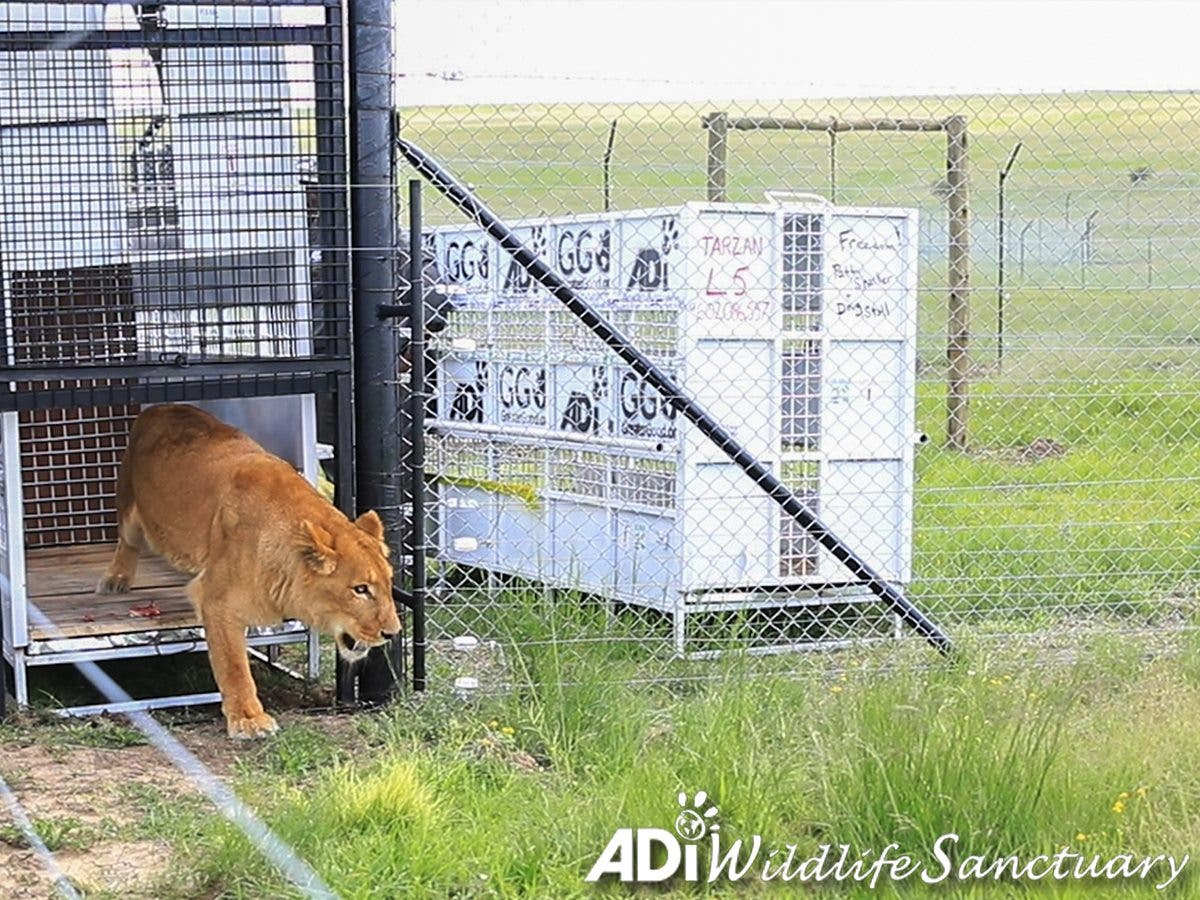 animal defenders lions tigers airlift south africa