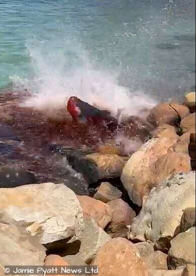 seal attacks dwarf sperm whale
