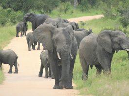 elephants kruger sanparks game parks open coronavirus